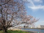 鶴見川流域の桜 開花情報
