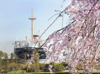 横浜 山下公園 しだれ桜と氷川丸