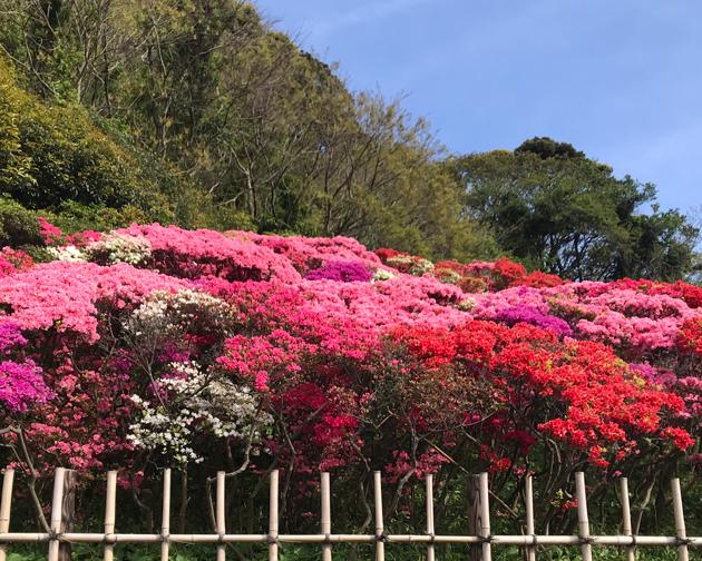 葉山 花の木公園のつつじの絨毯