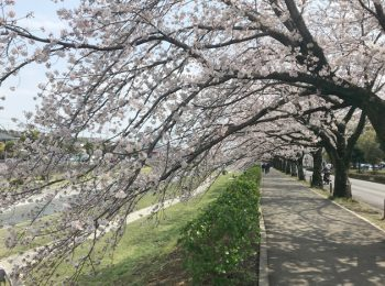 水無川沿いに約1kmにわたって続く秦野市カルチャーパークの桜並木