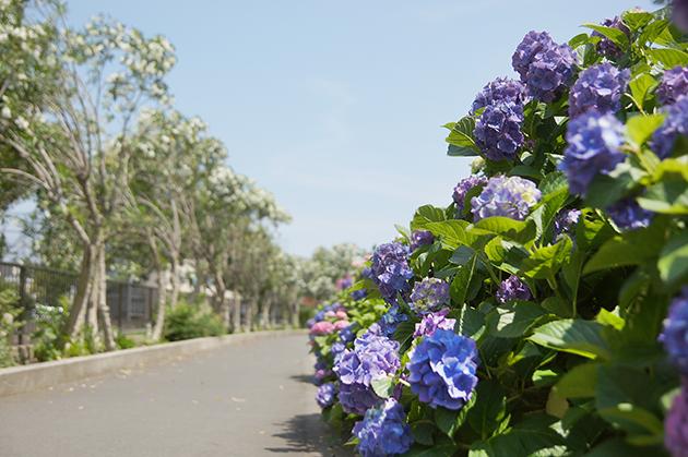 矢上川紫陽花