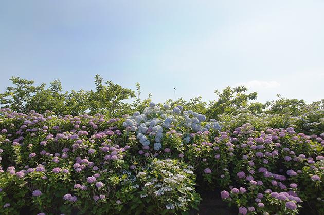 大熊川紫陽花