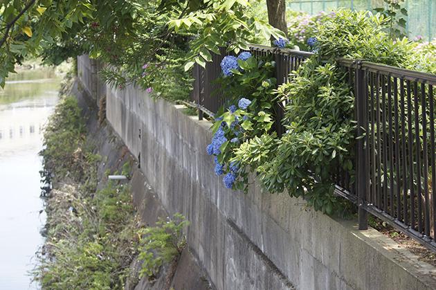 矢上川川沿いの紫陽花