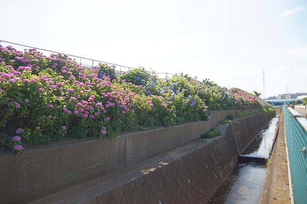 大熊川の紫陽花