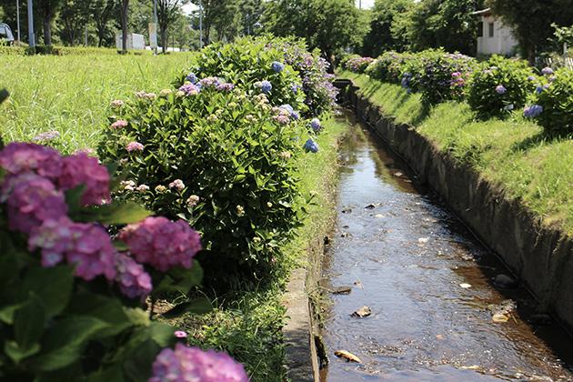 小出川と紫陽花