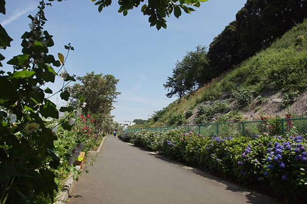遊歩道に並ぶ紫陽花