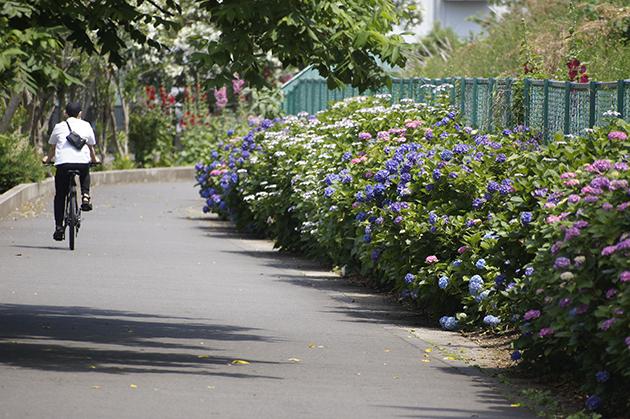 遊歩道に咲く紫陽花