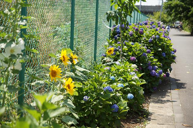 紫陽花とひまわり