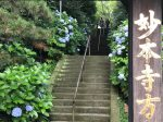 鎌倉 妙本寺の紫陽花