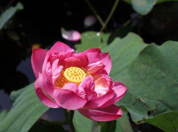 藤沢の住宅地内にある第二はす池