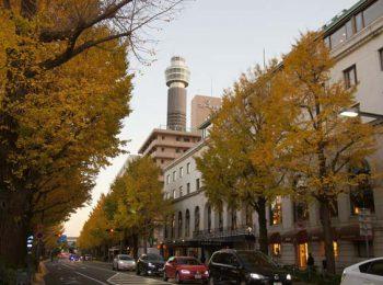 山下公園通り 秋のいちょう並木
