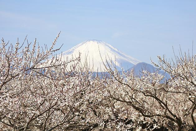 曽我梅林の富士山と梅