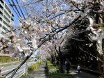 茅ケ崎中央公園の桜並木