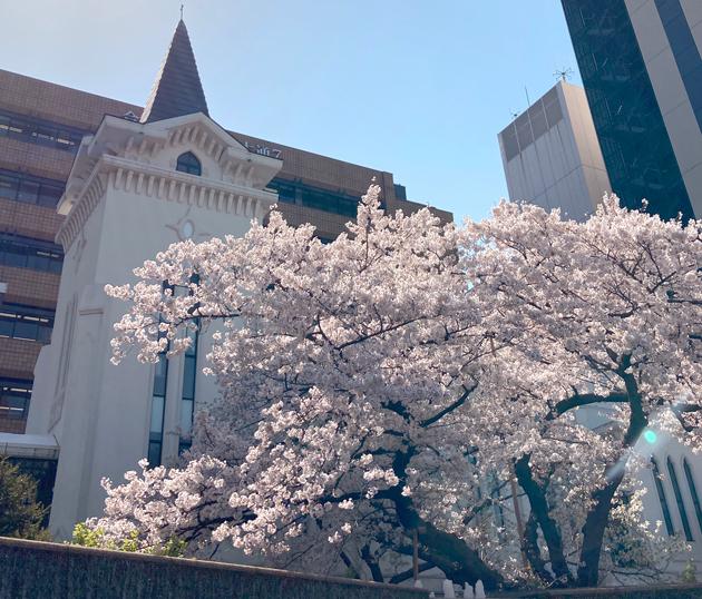 横浜海岸教会の桜