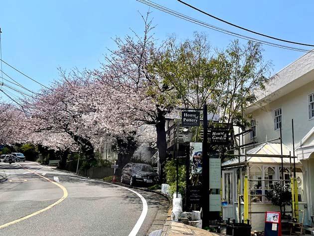 神奈川県 鎌倉山の桜