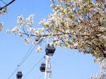 横浜 汽車道の桜
