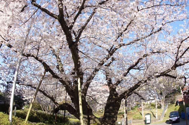 神奈川近代文学館 芸亭(うんてい)の桜