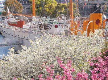 桜 横浜みなとみらい21地区のさくら通りと日本丸
