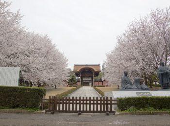 横浜市鶴見区 総持寺の桜