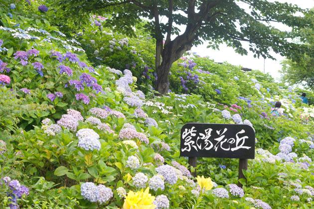 栄区 3000株の紫陽花が楽しめる「あじさいの丘」